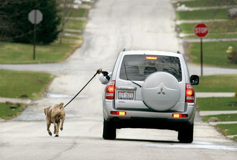 Fat_american_walking_dog_from_car